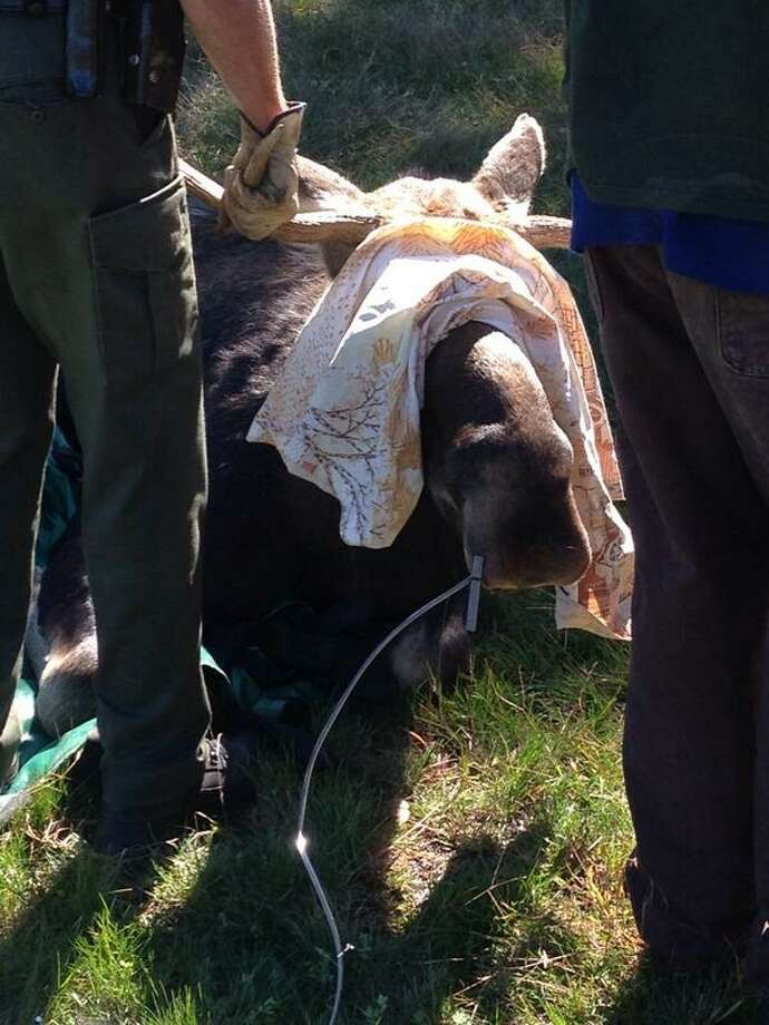 The Department of Environmental Conservation tranquilized a moose Tuesday morning after it was found in a yard in Halfmoon. (Matt Hamilton / Times Union)
