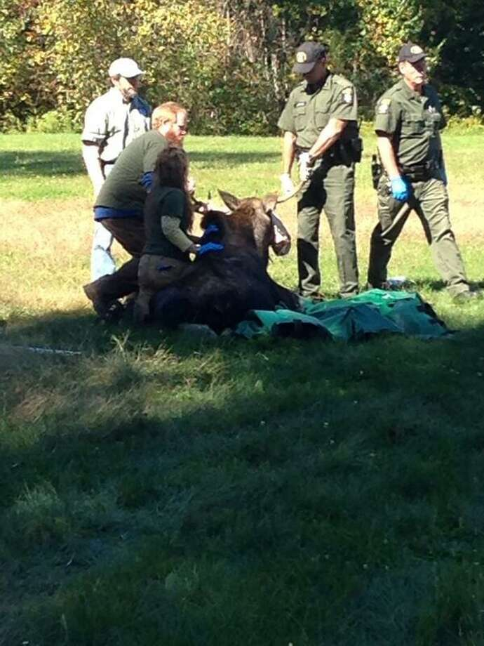 The Department of Environmental Conservation tranquilized in September 2013 after it was found in a yard in Halfmoon. (Matt Hamilton / Times Union)