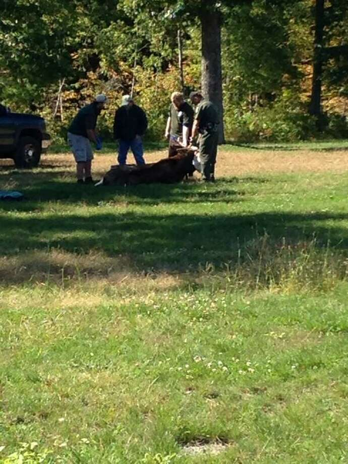 The Department of Environmental Conservation tranquilized a moose in September 2013 after it was found in a yard in Halfmoon. (Matt Hamilton / Times Union)
