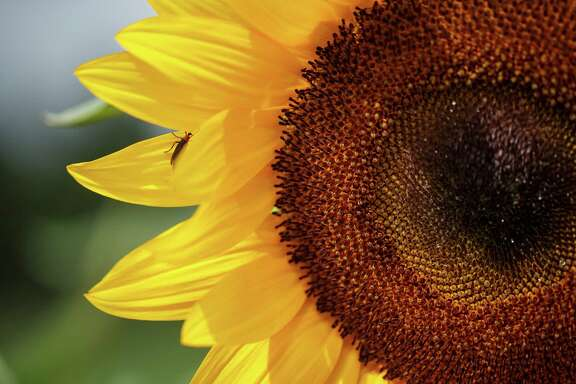 Owner Van Weldon is considering a sunflower maze for a festival next spring.