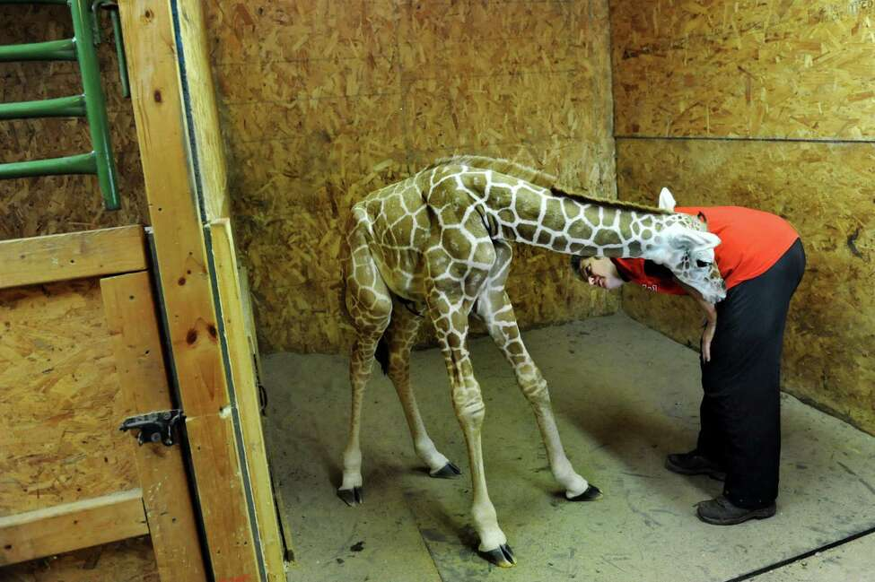Veterinarian Kris Harshman of Midvale Vet Clinic in Nelliston looks over Autumn, a newborn giraffe, on Tuesday, Sept. 24, 2013, at Adirondack Animal Land in Gloversville, N.Y. Autumn weighs in a 135 pounds, measures at 6 foot 3 inches and was born Sunday at 11:15 a.m. (Cindy Schultz / Times Union)