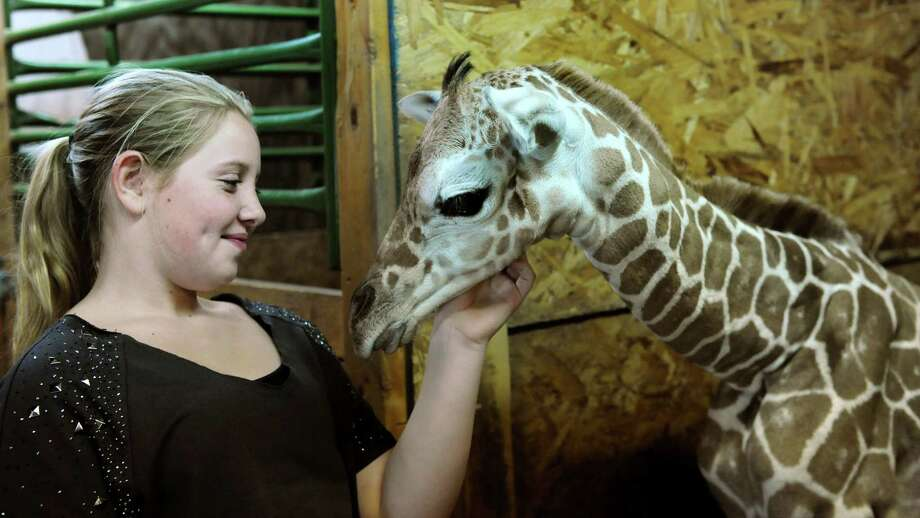 Courtney Trombley, 10, granddaughter of zoo owner Dave Eglin, pets Autumn, a newborn giraffe, on Tuesday, Sept. 24, 2013, at Adirondack Animal Land in Gloversville, N.Y. Autumn weighs in a 135 pounds, measures at 6 foot 3 inches and was born Sunday at 11:15 a.m. (Cindy Schultz / Times Union) Photo: Cindy Schultz