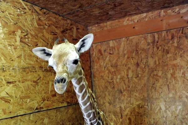 Autumn, a newborn giraffe, is pictured Tuesday afternoon, Sept. 24, 2013, at Adirondack Animal Land in Gloversville, N.Y. Autumn weighs in a 135 pounds, measures at 6 foot 3 inches and was born Sunday at 11:15 a.m. (Cindy Schultz / Times Union)
