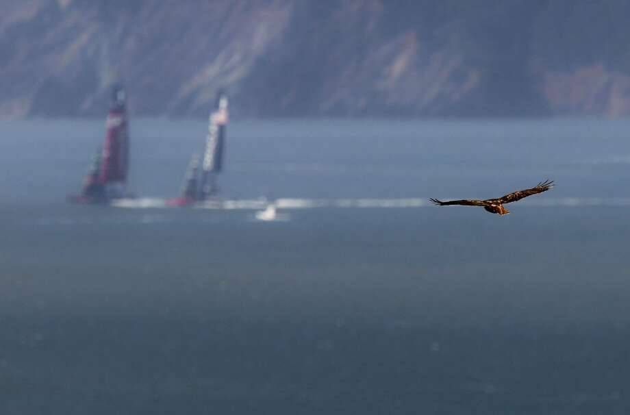 A hawk glides over Treasure Island as Oracle Team USA and Emirates Team New Zealand head for the starting line in race 17 as the America's Cup continues on San Francisco Bay, Calif., on Tuesday Sept. 24, 2013. Photo: Michael Macor, The Chronicle