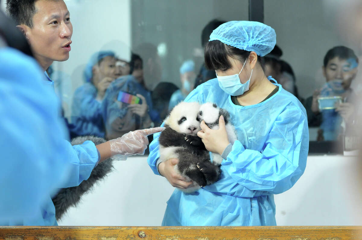 Staff lay Panda cubs on a bed for members of the public to view at Chengdu Research Base for Giant Panda Breeding on September 23, 2013 in Chengdu, Sichuan Province of China.