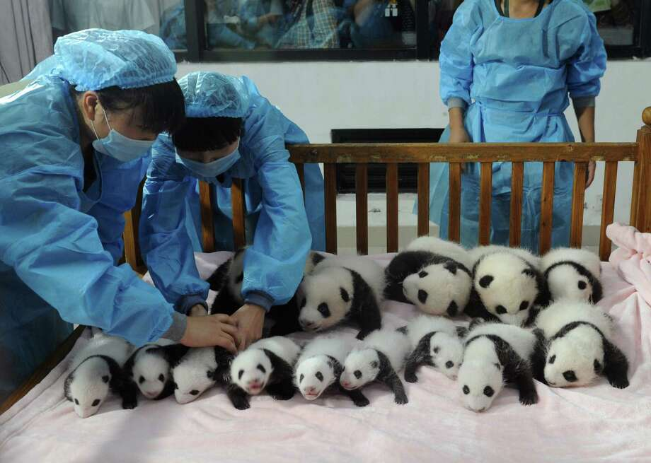 This picture taken on September 23, 2013 shows researchers placing new-born panda cubs on a crib during a press conference at the Chengdu Research Base of Giant Panda Breeding in Chengdu, southwest China's Sichuan province. 14 giant panda cubs born in 2013 were presented to the public at the press conference, during which the research base introduced the global breeding situation of giant pandas this year. Photo: STR, AFP/Getty Images / AFP