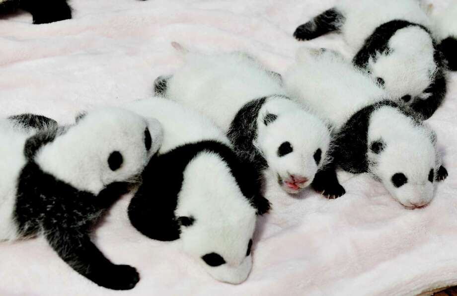 In this Monday,Sept. 23, 2013 photo, panda cubs rest in a crib at the Giant Panda Breeding and Research Base in Chengdu, in southwest China's Sichuan province. Fourteen panda cubs were shown to the public at the base on Monday. Photo: Associated Press / Color China Photo