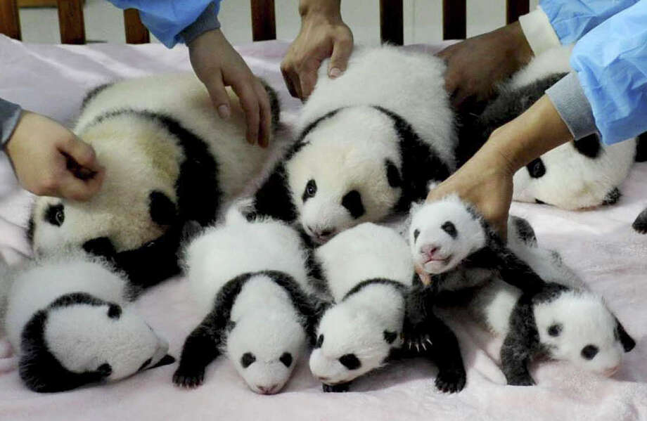 In this Monday Sept. 23, 2013 photo, staff members arrange panda cubs in a crib for photos at the Giant Panda Breeding and Research Base in Chengdu, in southwest China's Sichuan province. Fourteen panda cubs were shown to the public at the base on Monday. Photo: Associated Press / Color China Photo