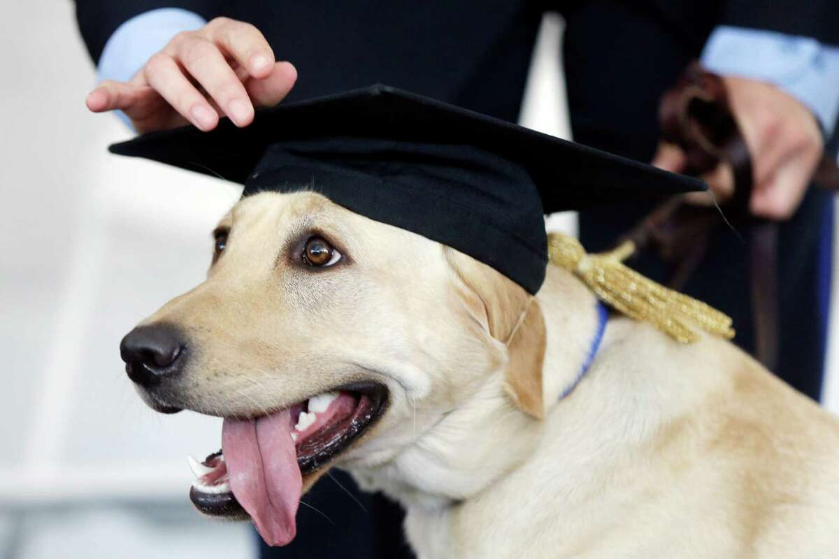 A Labrador retriever named Socks has her cap adjusted by her handler police officer Julie Wesley during a commencement ceremony in 2013, at the University of Pennsylvania's Working Dog Center in Philadelphia. Labs were once again the most popular dog breed in the U.S.