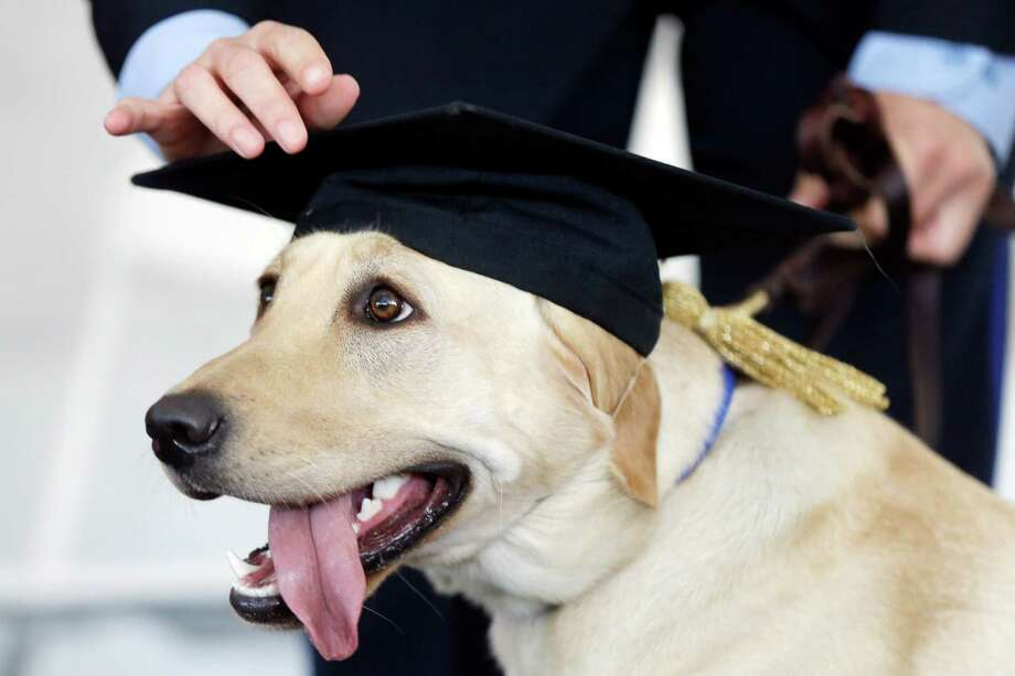 A Labrador retriever named Socks has her cap adjusted by her handler police officer Julie Wesley during a commencement ceremony Tuesday, Sept. 24, 2013, at the University of Pennsylvania's Working Dog Center in Philadelphia. Socks is going to work with Wesley for the campus police force performing duties including bomb detection. (AP Photo/Matt Rourke) ORG XMIT: PX101 Photo: Matt Rourke / AP