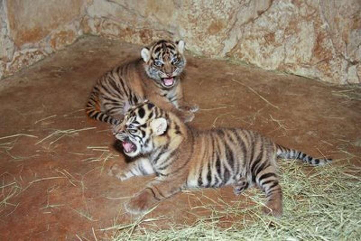 San Antonio Zoo's Sumatran tiger cubs.