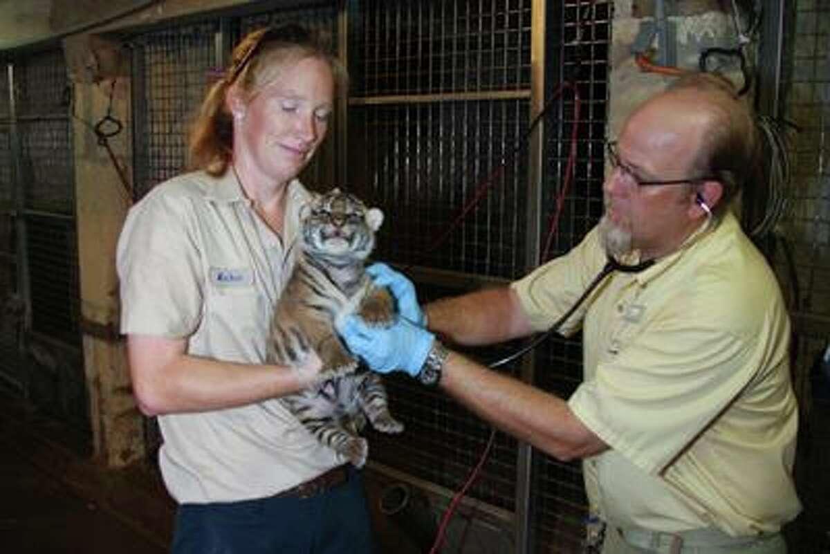 Two Sumatran tiger cubs receive their first medical checkup at the San Antonio Zoo.