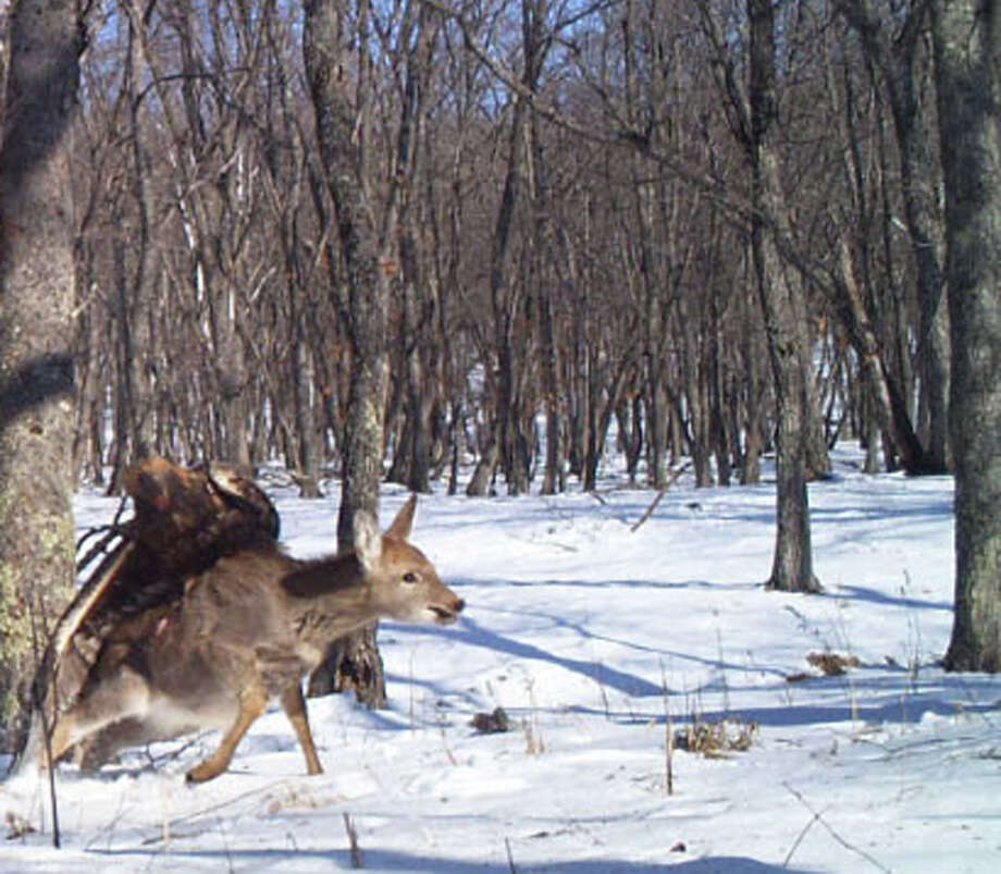 A golden eagle captures a young sika deer in the  Russian Far East. The rare attack was captured by a camera trap set up by the Zoological Society of London and Wildlife Conservation Society.