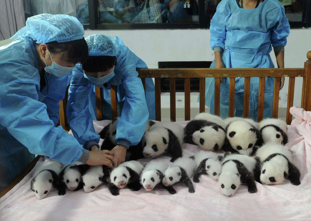 This picture taken on September 23, 2013 shows researchers placing new-born panda cubs on a crib during a press conference at the Chengdu Research Base of Giant Panda Breeding in Chengdu, southwest China's Sichuan province. 14 giant panda cubs born in 2013 were presented to the public at the press conference, during which the research base introduced the global breeding situation of giant pandas this year.