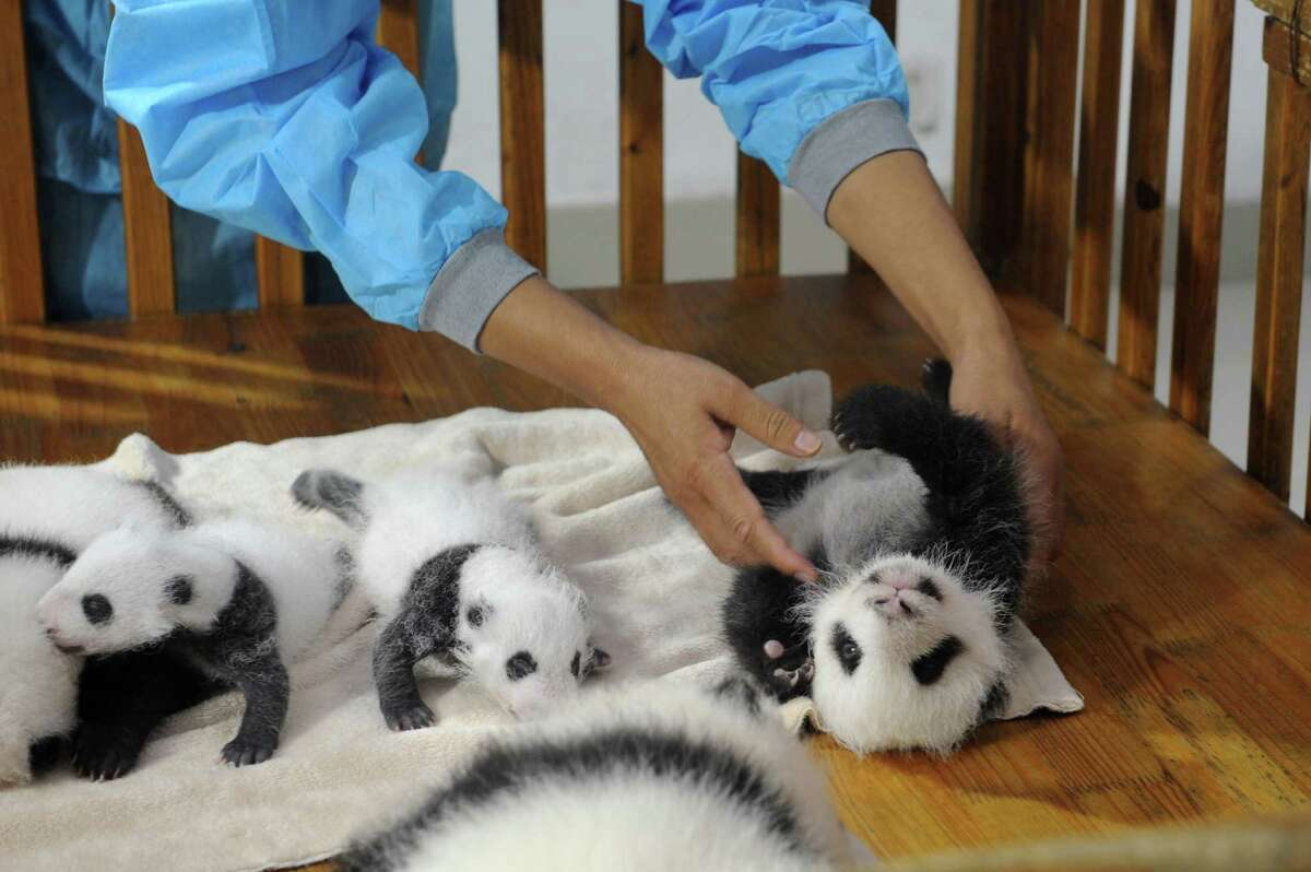 This picture taken on September 23, 2013 shows new-born panda cubs displayed on a crib during a press conference at the Chengdu Research Base of Giant Panda Breeding in Chengdu, southwest China's Sichuan province. 14 giant panda cubs born in 2013 were presented to the public at the press conference, during which the research base introduced the global breeding situation of giant pandas this year.