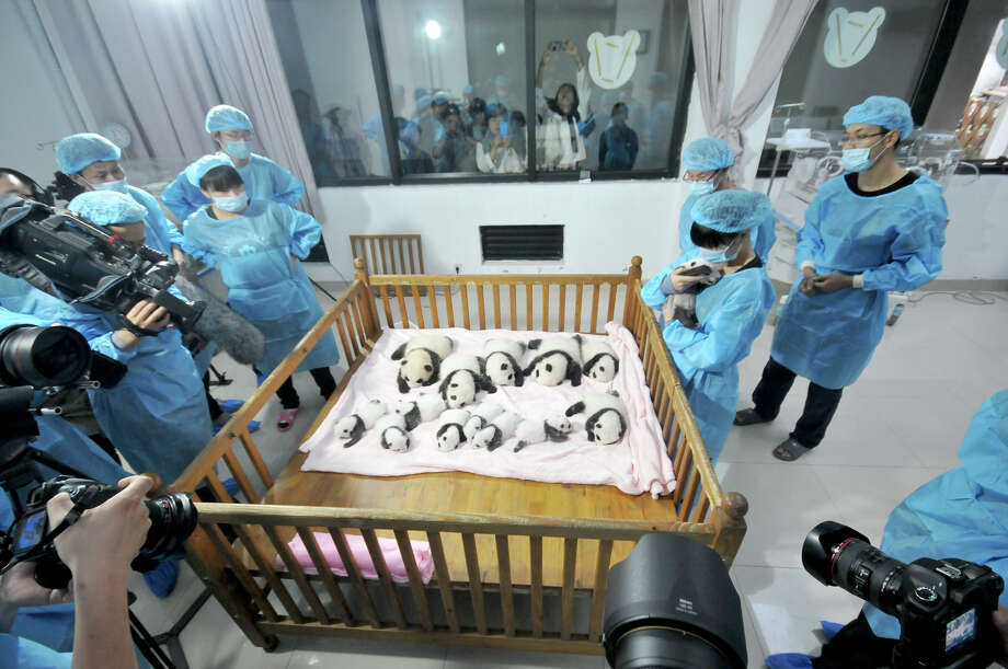Fourteen Panda cubs lie on a bed for members of the public to view at Chengdu Research Base for Giant Panda Breeding on September 23, 2013 in Chengdu, Sichuan Province of China. In 2013 twenty Panda cubs were born, with 17 of those cubs surviving. The Chengdu Panda Base was founded in 1987 with six giant pandas rescued from the wild and today has increased their captive population to over 83 individuals. Photo: ChinaFotoPress, Getty Images / 2013 Getty Images