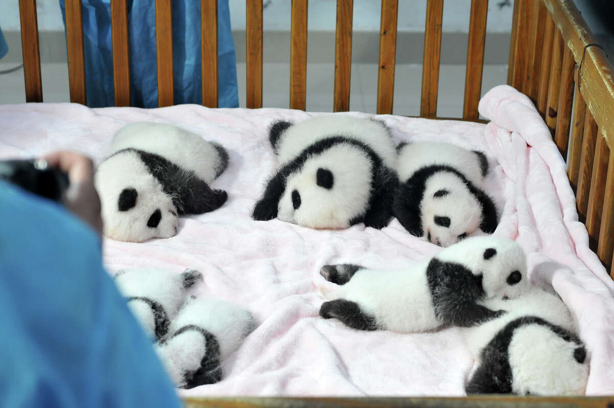 CHENGDU, CHINA - SEPTEMBER 23: (CHINA OUT) Fourteen Panda cubs lie on a bed for members of the public to view at Chengdu Research Base for Giant Panda Breeding on September 23, 2013 in Chengdu, Sichuan Province of China. In 2013 twenty Panda cubs were born, with 17 of those cubs surviving. The Chengdu Panda Base was founded in 1987 with six giant pandas rescued from the wild and today has increased their captive population to over 83 individuals. (Photo by ChinaFotoPress/ChinaFotoPress via Getty Images) ORG XMIT: 181799060