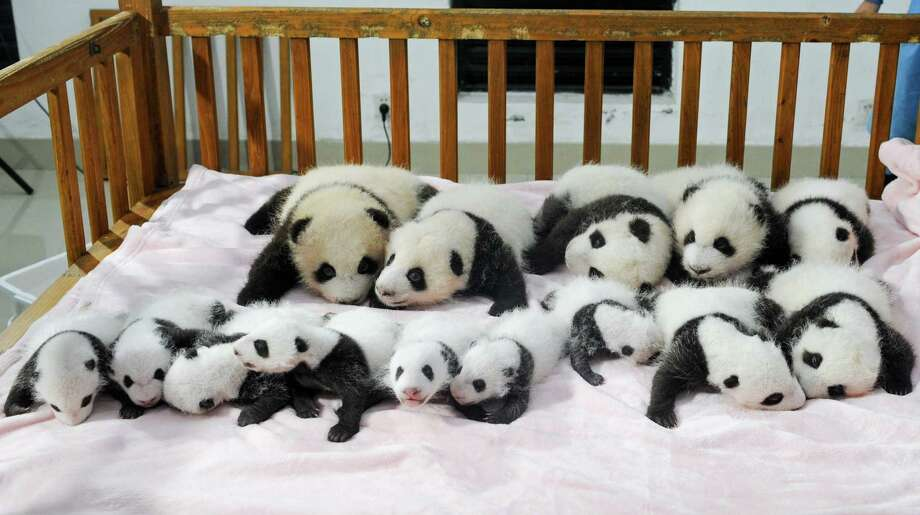 This picture taken on September 23, 2013 shows new-born panda cubs displayed on a crib during a press conference at the Chengdu Research Base of Giant Panda Breeding in Chengdu, southwest China's Sichuan province. 14 giant panda cubs born in 2013 were presented to the public at the press conference, during which the research base introduced the global breeding situation of giant pandas this year.     CHINA OUT     AFP PHOTOSTR/AFP/Getty Images Photo: STR, Getty / AFP