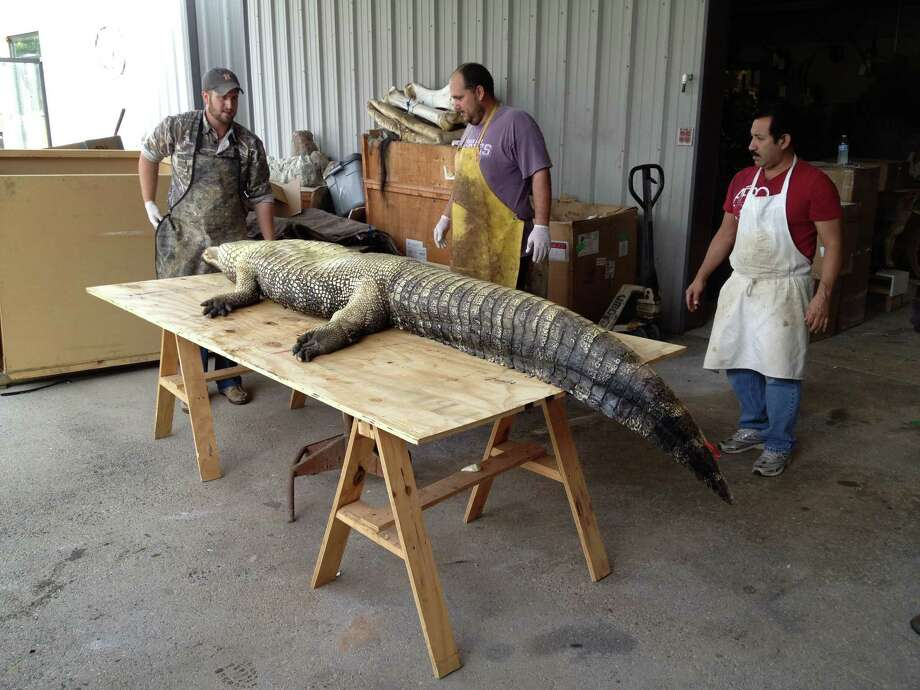 Taxidermists Frank Baird, left, Kevin Stark and Willy Franco at B&B Taxidermy in Houston get ready to mount an 11-foot alligator killed in Richmond's Brazos Lakes subdivision. Photo: Courtesy Photo