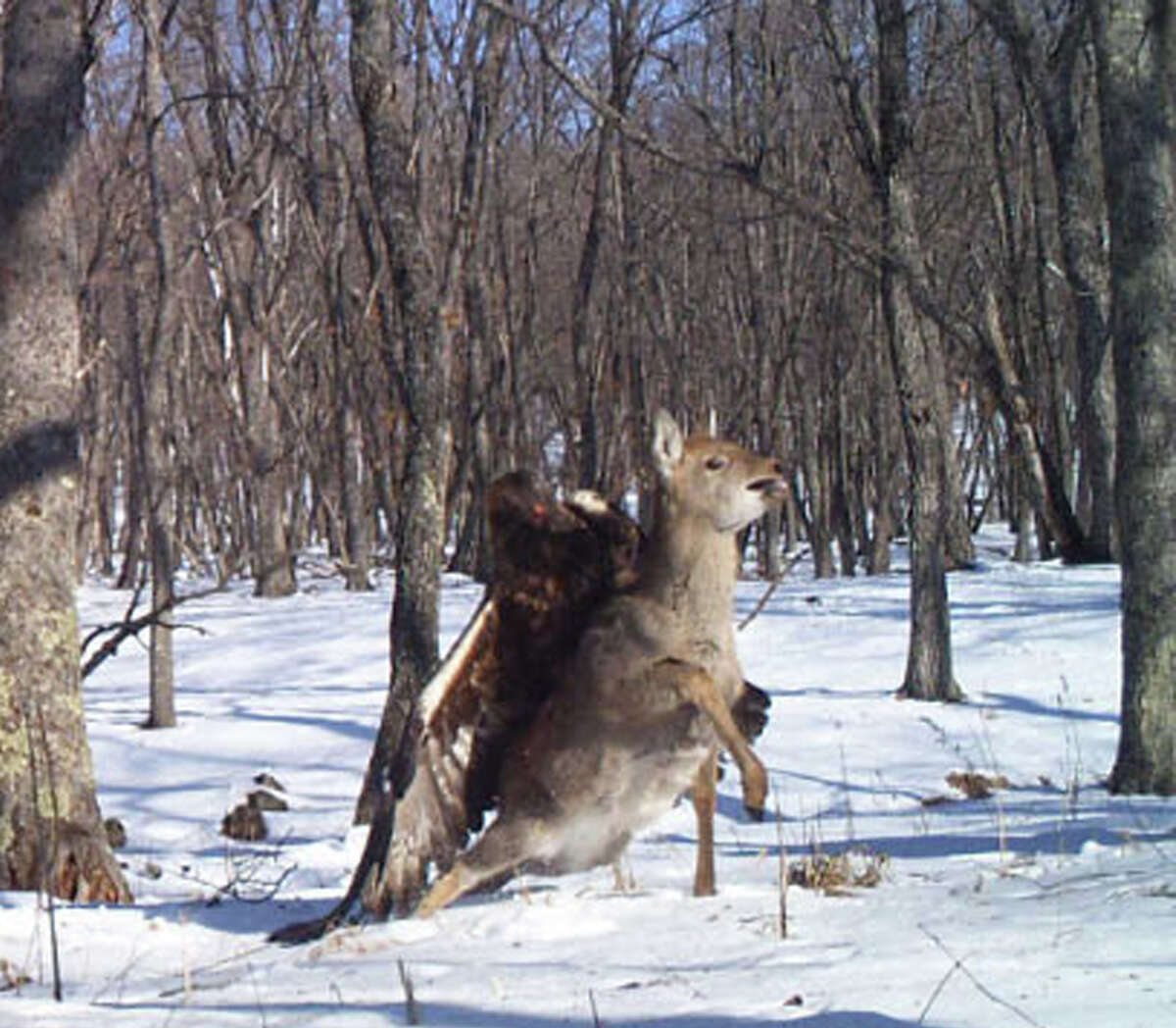 A golden eagle captures a young sika deer in the Russian Far East. The rare attack was captured by a camera trap set up by the Zoological Society of London and Wildlife Conservation Society. Photo credit: Linda Kerley, Zoological Society of London (ZSL)
