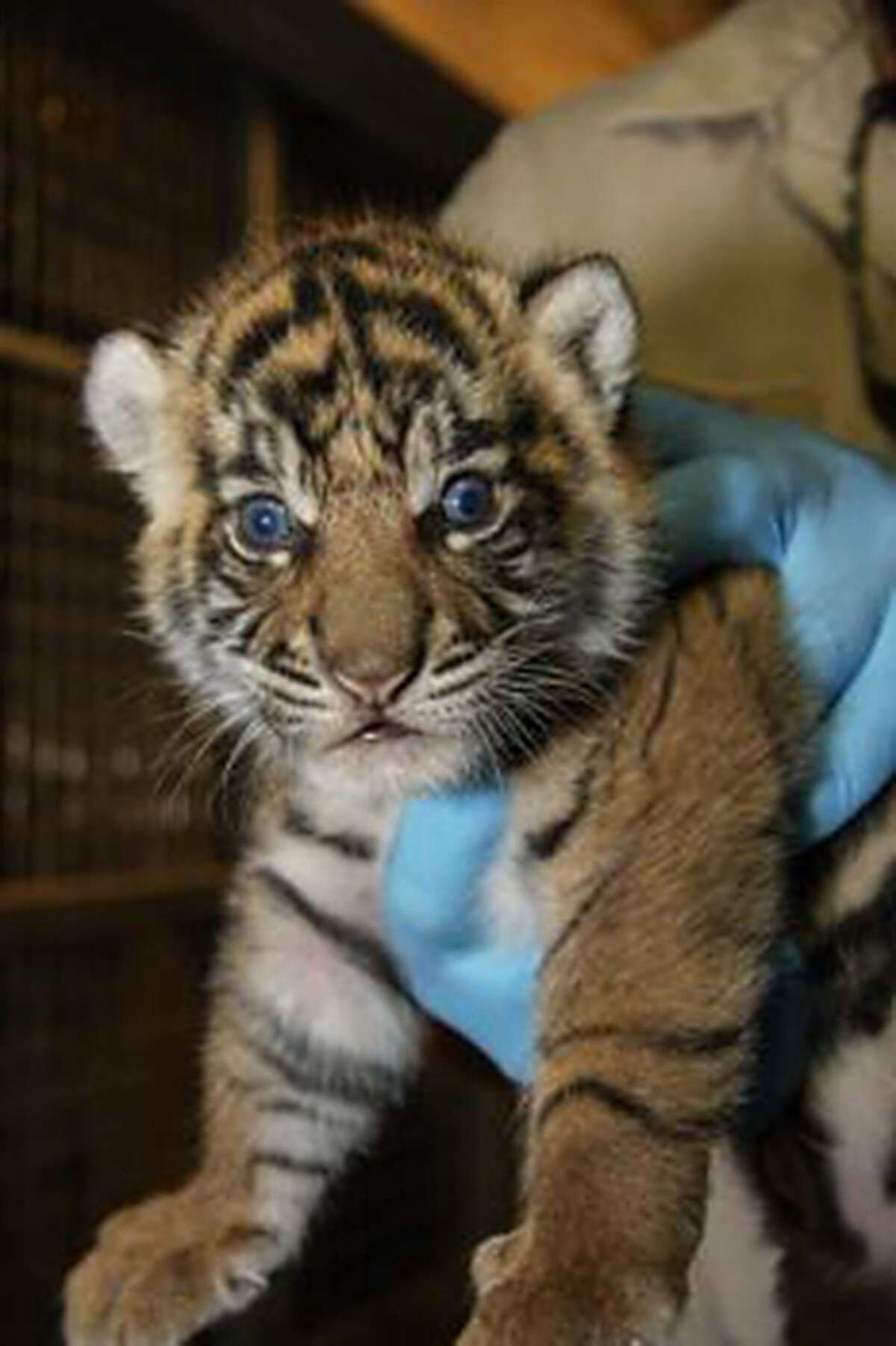 Two Sumatran tiger cubs, born at the San Antonio Zoo early last month, appear to be vocalizing their enthusiasm (top) about their Facebook debut - though they do not yet have names. One of the cubs (above) receives her first medical checkup at the zoo.