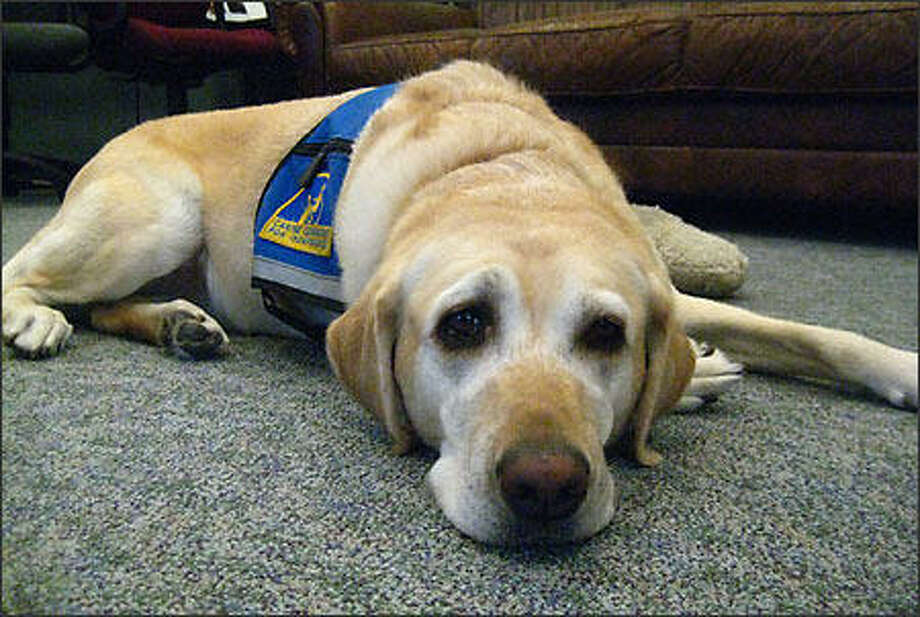 Ellie, the King County Prosecutor's Office service dog, pictured above.