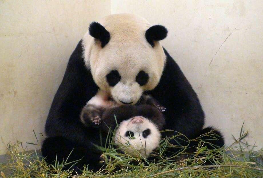 Yuan Yuan, back when she actually had a baby panda. Photo: Taipei City Zoo, AFP/Getty Images