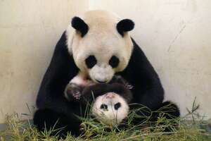 Sneaky panda fakes pregnancy to get better treatment - Photo