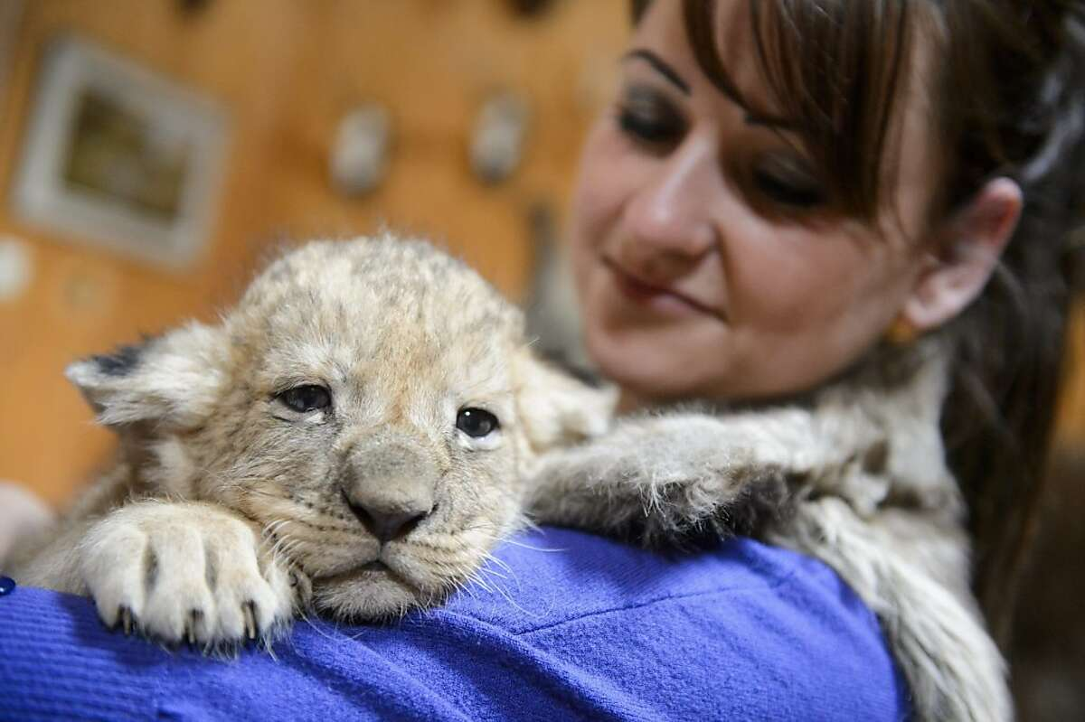 Sometimes you just need a shoulder to lean on: Preferably one with an absorbent sweater in case you have to burp up some formula. (Month-old lion cub, Szorako Zoo in Budapest.)