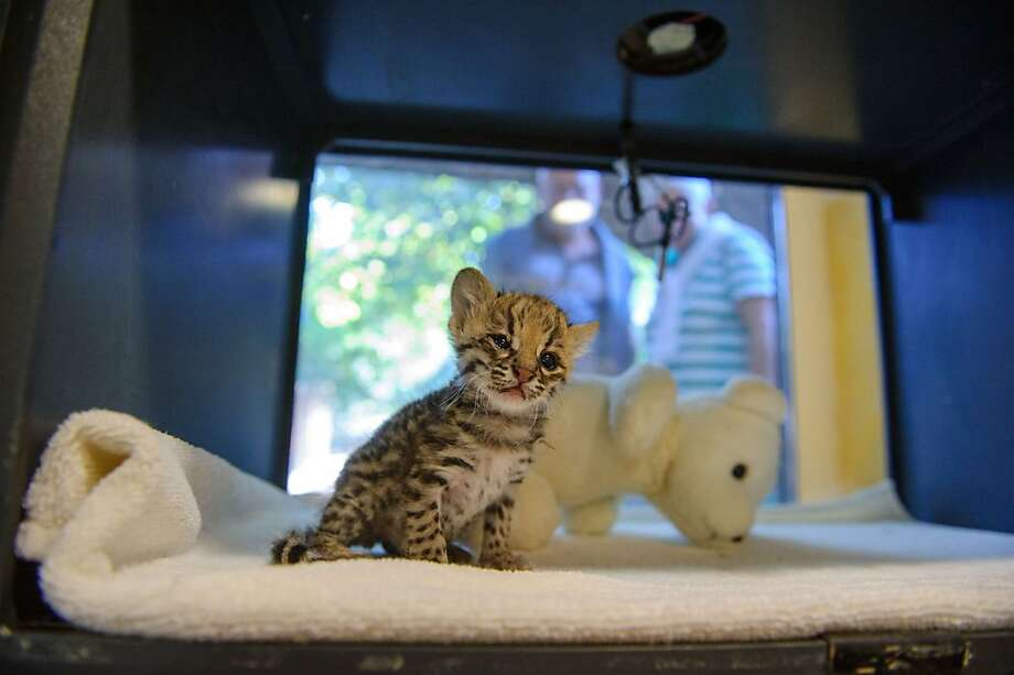 Do not disturb:Shy Santana the tiger cat cub tends to hide behind his bear when strangers peer through his window at the zoo in Mulhouse, France. Photo: Sebastien Bozon, AFP/Getty Images