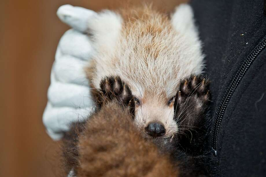 Oh, sorry. Is my flash too bright? This baby red panda will let you know as soon as her retinas begin functioning again, Mr. Photographer. (Nuremberg Zoo, Germany.) Photo: Daniel Karmann, AFP/Getty Images