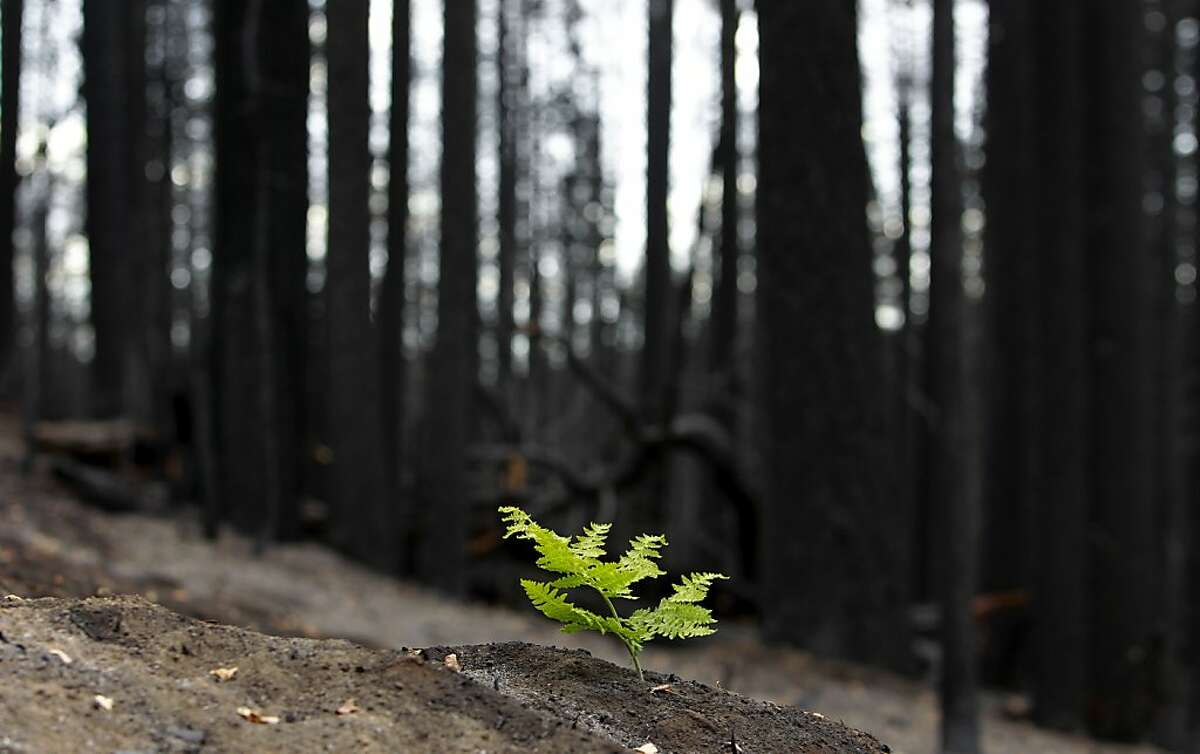 Signs of life as a fern grows through the ash along Cherry Lake road near Groveland, Calif., on Wednesday Sept. 25, 2013, following the massive Rim Fire which erupted on August 17, 2013 and has burned more than 257,000 acres.