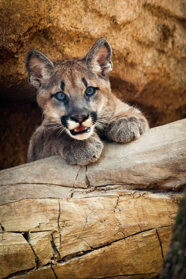 In this file photo, Shasta, a young male cougar cub selected as the UH mascot, is shown. Photo: Houston Zoo / Houston Zoo