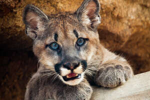 Meet Shasta, young male cougar cub selected as the UH mascot, courtesy of the Houston Zoo