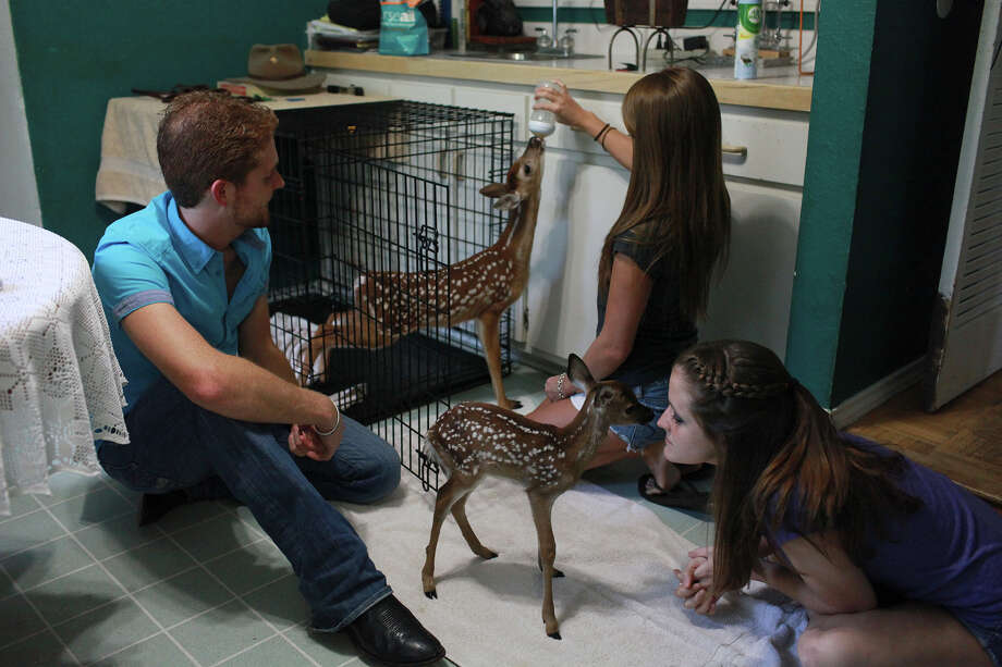 Siblings, left to right, Chris, Danielle, and Amanda Garza feed and play with baby deer in their parents' home in San Antonio on Thursday, July 11, 2013. Photo: Abbey Oldham, San Antonio Express-News / © San Antonio Express-News