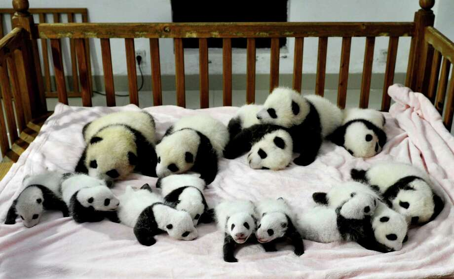 In this Monday, Sept. 23, 2013 photo, fourteen panda cubs are arranged in a crib for photos as they are shown to the public at the Giant Panda Breeding and Research Base in Chengdu, in southwest China's Sichuan province. (AP Photo)  Photo: AP
