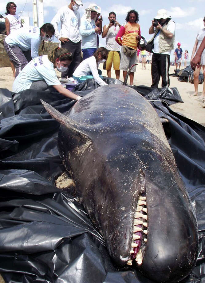 In this photo released by the Voz de Areia Branca, a community news blog, biologists inspect a dead dolphin on Upanema beach in the Areia Branca municipality of Rio Grande do Norte state, Brazil, Sunday, Sept. 22, 2013. Around 30 large dolphins known as false killer whales beached themselves in northeastern Brazil. Photo: AP