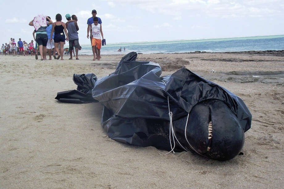 In this photo released by the Voz de Areia Branca, a community news blog, a dead dolphin lays wrapped in a bag on Upanema beach in the Areia Branca municipality of Rio Grande do Norte state, Brazil, Sunday, Sept. 22, 2013. Around 30 large dolphins known as false killer whales beached themselves in northeastern Brazil. Photo: AP
