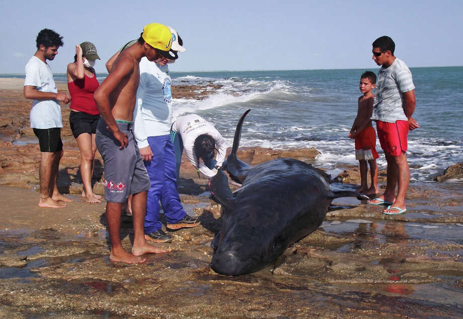 In this photo released by the Voz de Areia Branca, a community news blog, people look on as biologists inspect a dolphin on Upanema beach in the Areia Branca municipality of Rio Grande do Norte State, Brazil, Sunday, Sept. 22, 2013. Around 30 large dolphins known as false killer whales beached themselves in northeastern Brazil. Photo: AP