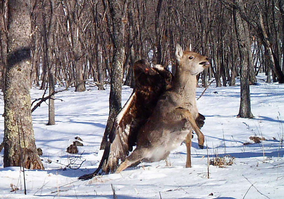 In this photo taken from a remote camera at the Lazovsky State Nature Reserve in the Primorye region of Russia's Far East on Dec. 8, 2011, a golden eagle attacks a deer. Remote cameras set up to track Siberian tigers in Russia have caught a golden eagle attack on a sika deer, snapping three photos as the massive bird digs its talons into the distressed animals back. Golden eagles typically eat small birds or mammals, but they've also been known to target deer. It's rare for a camera to catch such an attack in progress. Photo: AP