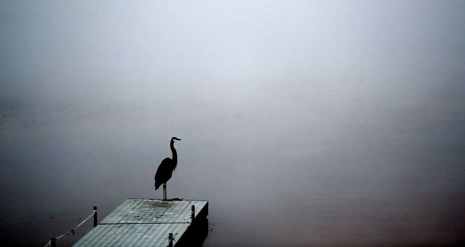 A great blue heron may be temporarily grounded due to fog in the area as it  sits at the end of the dock on the north side of Saratoga Lake on Sept. 27, 2013, in Saratoga Springs, N.Y.    (Skip Dickstein/Times Union) Photo: SKIP DICKSTEIN