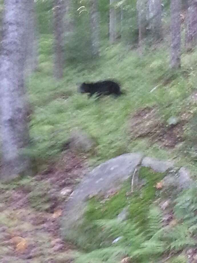 Image of a bear taken by Amy Stafford as she hiked in the Adirondacks on the Northville-Placid Trail. (Photo provided by Amy Stafford)