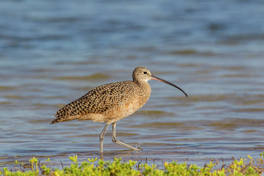 A long-billed curlew hunts for food in the shallow waters at Rockport Beach Park in Rockport. Photo: Kathy Adams Clark / Kathy Adams Clark/KAC Productions