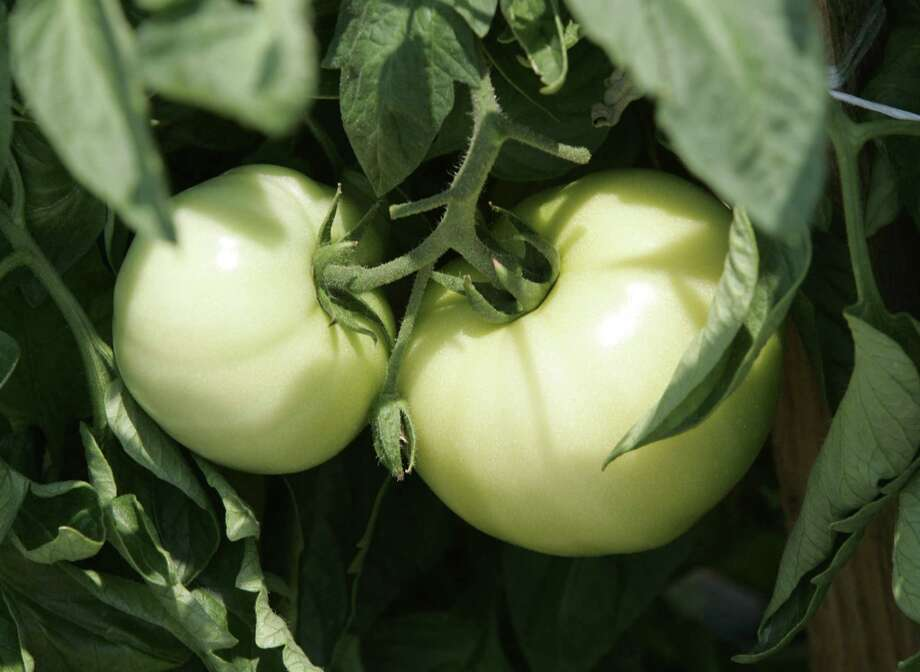 It is too late to plant all but the quick-producing Surefire variety of tomatoes for fall harvest. Photo: File Photo