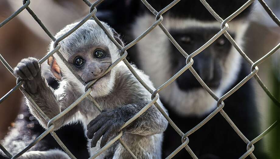 This may take longer than I thought:The Santa Ana Zoo's 4-week-old black-and-white colobus monkey attempts to chew her way to freedom in Santa Ana, Calif. Photo: Bruce Chambers, Associated Press