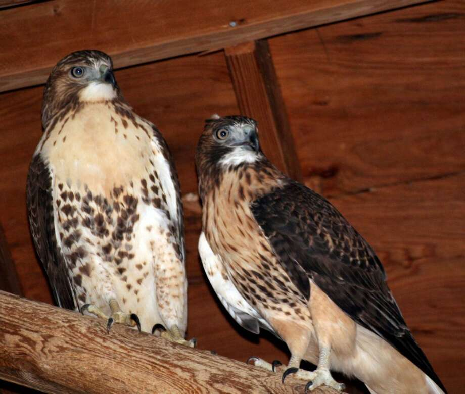 First in flight: Audubon Greenwich celebrates the annual hawk migration at its HawkWatch Festival & Green Bazaar, to be held Saturday and Sunday, Sept. 28 and 29,2013, 11 a.m.-5 p.m.