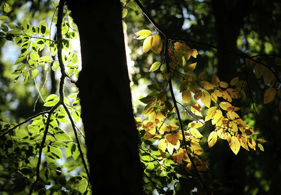 A shaft of sunlight highlights the first changing leaves of the season at the Pequonnock River State Park in Trumbull, Conn. on Wednesday, September 18, 2013. Photo: Brian A. Pounds / Connecticut Post