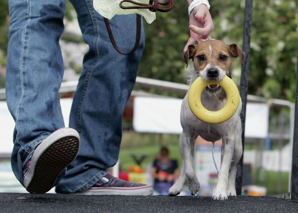 A Jack Russell terrier named