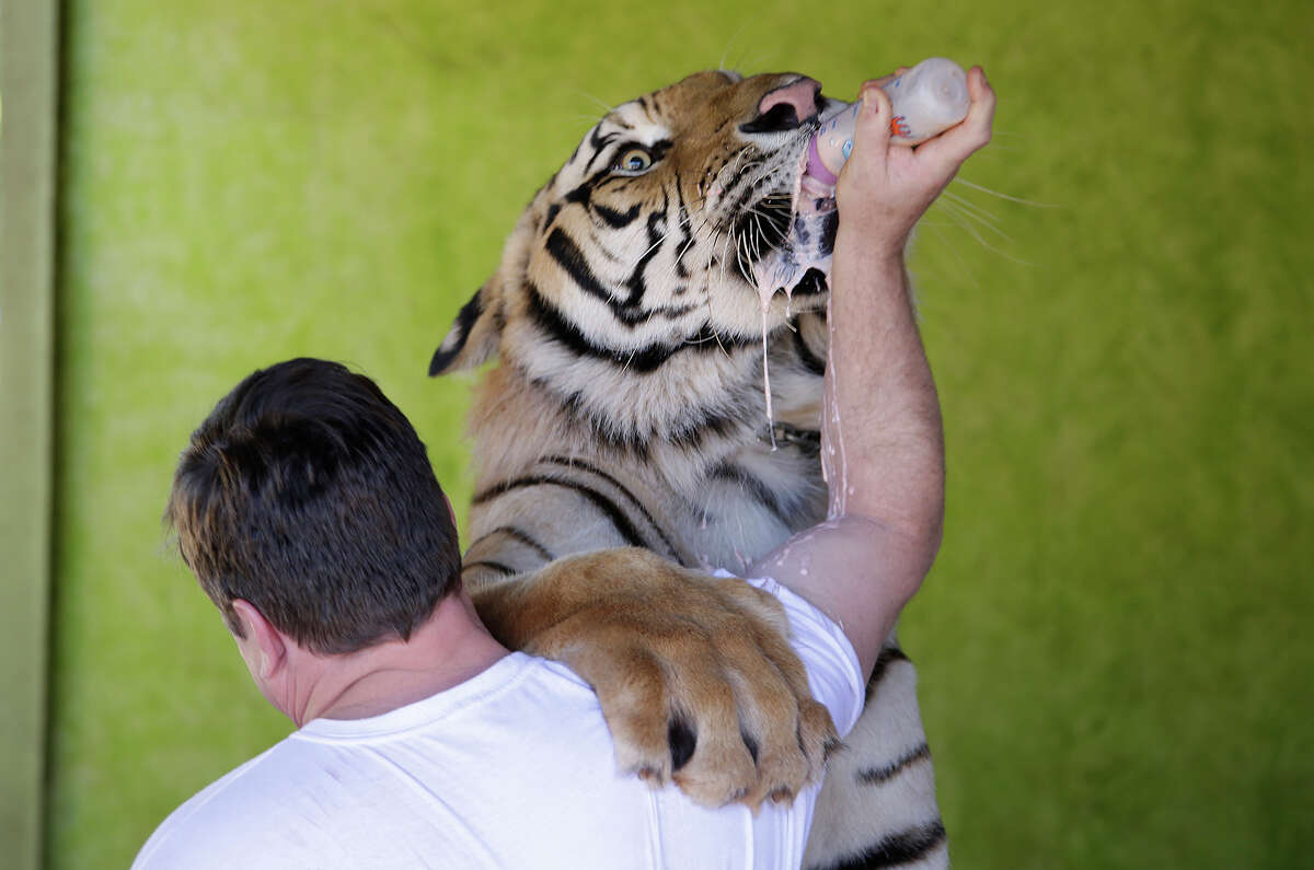 Ary Borges feeds his tiger named Dan at his home in Maringa, Brazil, Thursday, Sept. 26, 2013. Borges is in a legal battle with federal wildlife officials to keep his endangered animals from undergoing vasectomies and being taken away from him. He defends his right to breed the animals and says he gives them a better home than they might find elsewhere in Brazil.