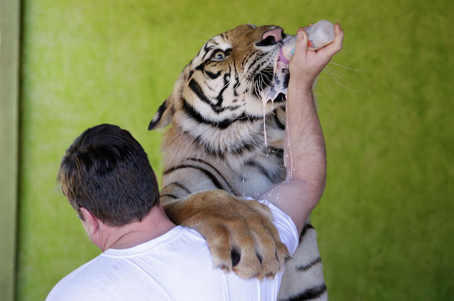 Ary Borges feeds his tiger named Dan at his home in Maringa, Brazil, Thursday, Sept. 26, 2013.  Borges is in a legal battle with federal wildlife officials to keep his endangered animals from undergoing vasectomies and being taken away from him. He defends his right to breed the animals and says he gives them a better home than they might find elsewhere in Brazil. Photo: Renata Brito, Associated Press / AP